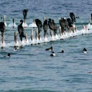 Cormorans posés sur les poteaux gelés de la roselière des Seines